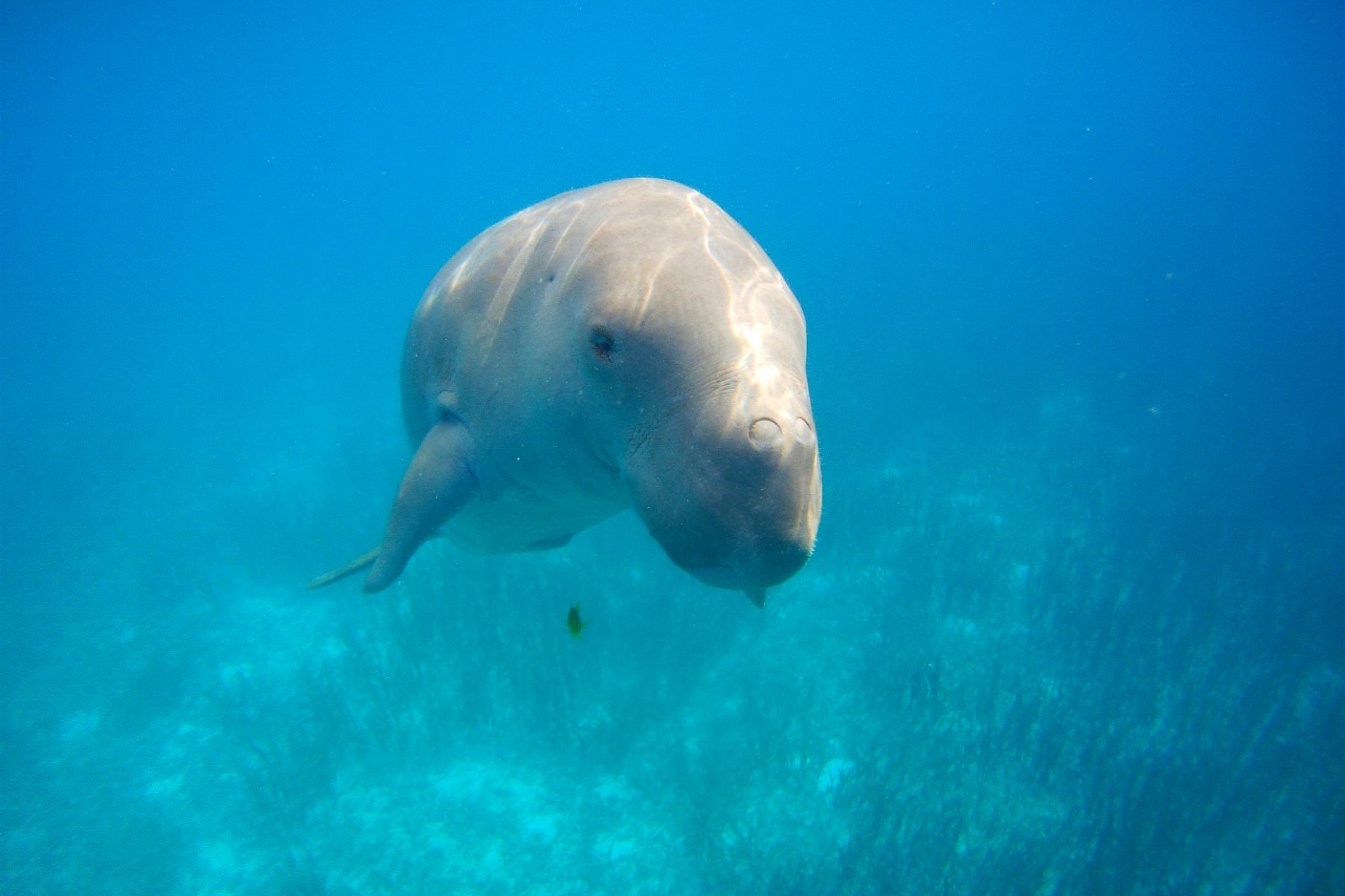 mawar dugong alor 1