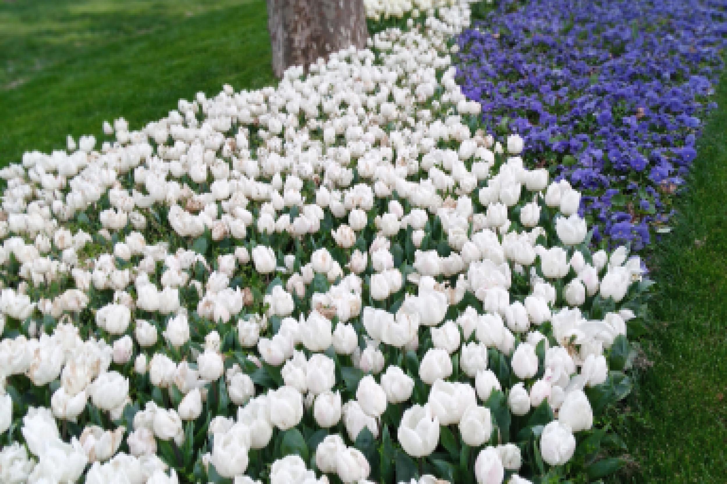 Tulip di Gulharne 1
